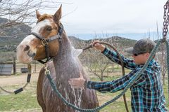 Young man cleans his horse after a horse ride near Aguanga, CA,. Young man cleans his horse with a water hose after a horse ride near Aguanga, CA, USA stock photography