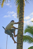 Young Man Climbing Coconut Palm Tree with Knife. Stock Images