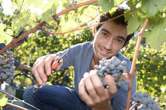 Young man cutting grapes in vineyard Royalty Free Stock Images