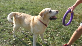 Young man and dog playing with toy for animal outdoor at nature. Labrador or golden retriever bites and pulls toy from stock video