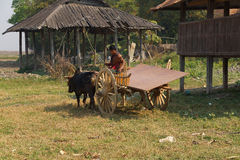 Young man drives his ox car Royalty Free Stock Images