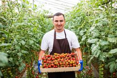Young man farm worker picking cherry tomatoes harvest in wooden boxes in the greenhouse. Young man farm worker, collects cherry tomatoes harvest in boxes in the royalty free stock photos