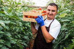 Young man farmer carrying tomatoes in hands in wooden boxes in a greenhouse. royalty free stock photography