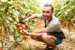 Young man farmer collects with scissors cherry tomatoes in the greenhouse tomatoes in the greenhouse vegetable background royalty free stock image