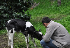 Young man feeding Holstein calf Royalty Free Stock Photos