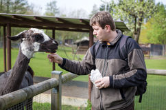 Young man feeding lama in zoo Royalty Free Stock Photos