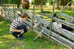 Young man feeds sheep Royalty Free Stock Photos