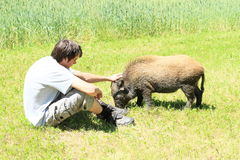 Young man stroking a wild pig Royalty Free Stock Photo