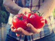 Young man with fresh organic tomatoes royalty free stock photo