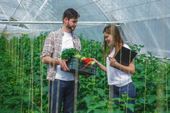 Young man and girl  examining a box of vegetables. A young men holding a box of vegetables.  A girl examines vegetables Royalty Free Stock Images