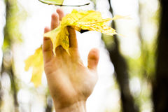 Young man hand holding a yellow leaf. Young man hand holding a yellow maple leaf Royalty Free Stock Images