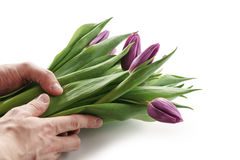 Young man hands holding bunch of fresh purple tulips isolated on white. On white background Stock Photography