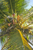 Young Man Harvesting Coconuts. Young man high up in a cocoanut palm tree, cutting groups of cocoanuts free for harvesting Stock Photo