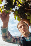 Young Man Harvesting Grapes Royalty Free Stock Image