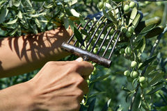 Young man harvesting olives in Spain Royalty Free Stock Photography