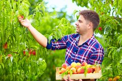 Young man harvesting peaches in fruit garden. Young man harvesting peaches in fruit plantation Stock Photography