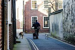 Young man is walking with three dogs in a quiet street in York, Great Britain in 2019. Young man is having walk in central York. Dog walker with 3 big and medium stock photo