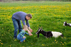 Young man and his child feeding goat on meadow in spring Stock Photo