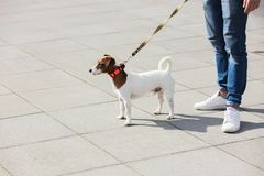 Young man with his dog, Jack Russell Terrier. On the city street in spring time royalty free stock photos