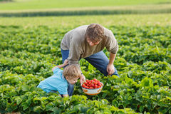 Young man and his son on organic strawberry farm Stock Photo