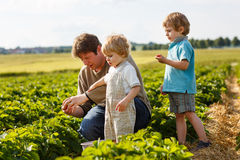 Young man and his two sons on organic strawberry farm. Young men and his two sons on organic strawberry farm in summer, picking berries Stock Image