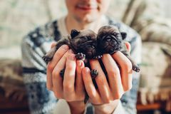Young man holding pug dog puppies in hands. Little puppies sleeping. Breeding dogs. Young man holding pug dog puppies in hands. Little puppies sleeping. Master stock image