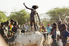 Young man jumps of the bulls. Turmi, Omo Valley, Ethiopia. Young man jumps of the bulls.  Bull Jumping ceremony is a rite of passage into manhood in some Omo Stock Image