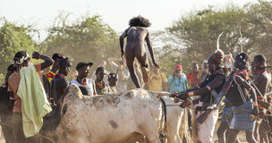Young man jumps of the bulls. Turmi, Omo Valley, Ethiopia. Stock Image