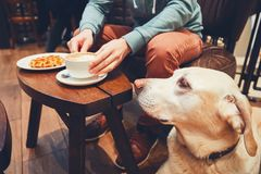 Curious dog in the cafe. Young man with labrador retriever in the cafe. Curious dog looking on the table with sweet waffles of the his owner stock images