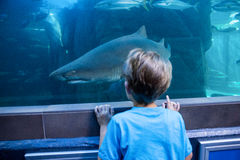 Young man looking at shark in a tank Royalty Free Stock Photo