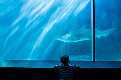 Young man looking at a shark in a tank Royalty Free Stock Photos