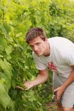 Young man looks in grapes Stock Image