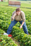 Young man on organic strawberry farm Royalty Free Stock Photo