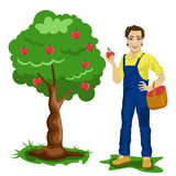 Young man picking apples in an orchard Royalty Free Stock Image