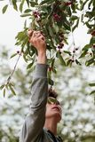 Young man picking cherry berries from tree. Man picking cherry berries from tree. Lots of cherry berries, leaves, fresh fruits royalty free stock photography