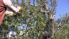 Young man picking olives stock video footage