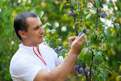Young man picking plums from tree Stock Image