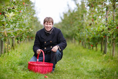 Young man picking red apples in an orchard Royalty Free Stock Photography