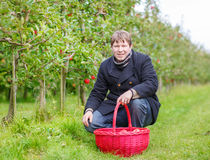 Young man picking red apples in an orchard Royalty Free Stock Photos