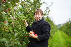 Young man picking red apples in an orchard Stock Image
