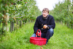 Young man picking red apples in an orchard Stock Images