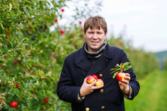 Young man picking red apples in an orchard Royalty Free Stock Photo