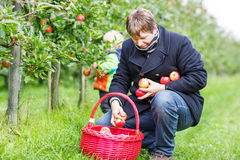 Young man picking red ripe apples in fruit garden with his littl Royalty Free Stock Images