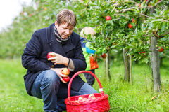 Young man picking red ripe apples in fruit garden Stock Photography