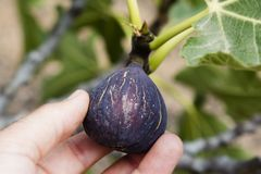 Young man picking a ripe fig from the tree royalty free stock image