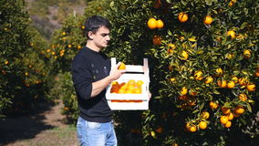 Young man picking ripe oranges. Young man choosing from the wooden basket good oranges in the orange garden in Turkey stock video