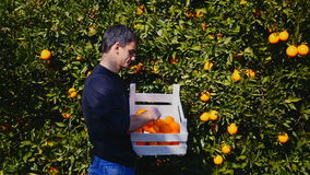 Young man picking ripe oranges. Young man choosing from the wooden basket good oranges in the orange garden in Turkey stock footage