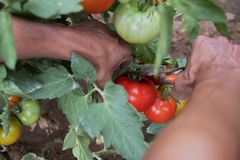 Young man picking a tomatoes from the plant stock photo