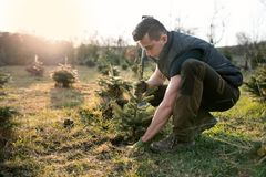 Young man plant a small tree in the garden. Small plantation for a christmas tree. Picea pungens and Abies nordmanniana. Spruce an. D fir royalty free stock image