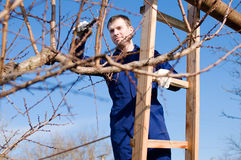 Young man pruning apricot branches. With the pruner Stock Image